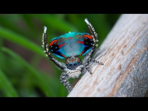 Peacock jumping spiders - photo#36