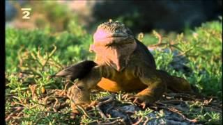 Kráľovstvo divočiny - Morskí leguáni