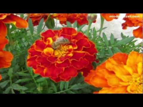 Pszczoła na kwiatach