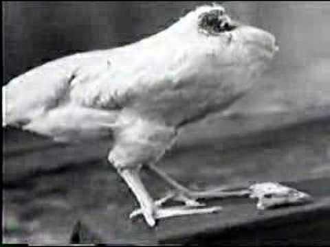 Kurczak żył bez głowy 18 miesięcy!