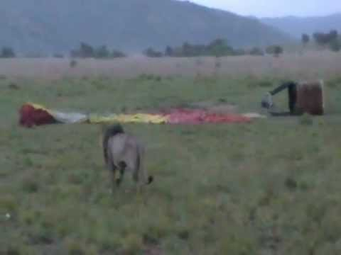 Lion visits Hot Air Balloon Launchpad