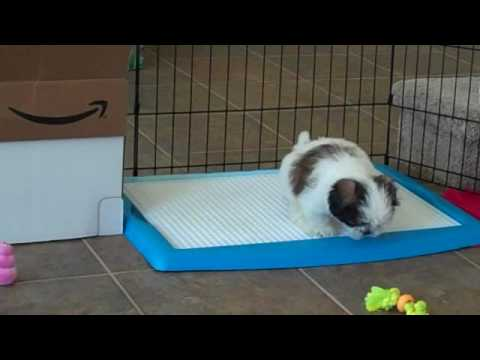 Wizdog Potty Training Shih Tzu Puppy Youtube