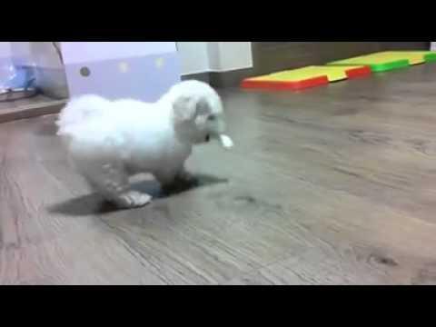 Igra psa