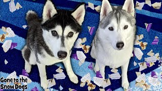 Dog Caught on Camera Being a Bad Dog | Husky Left Home Alone