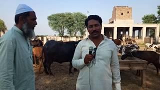 neeli ravi buffalo & cross cow for sale in pakistan on youtube 24_5_2019