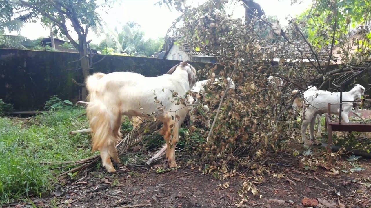 Jamnapari goat - JungleKey.in Image
