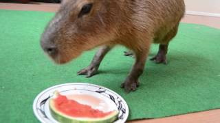 Capybara really LOVES watermelon!