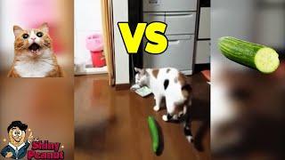 Kenapa Kucing Takut Sama Timun? Tingkah Kucing yang Bikin Ngakak