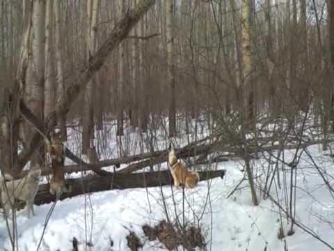 Собаки работают по фазану