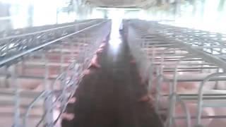 Hướng dẫn gây động dục cho lợn bằng thuốc Lover,  PG 600