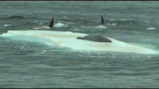 Orcas hunting seal on ice floe in Antarctica