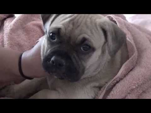 Pug Mix With Pitbull Youtube