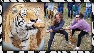 Humans vs. Tigers! 🐯 Tiger Tug-o-War
