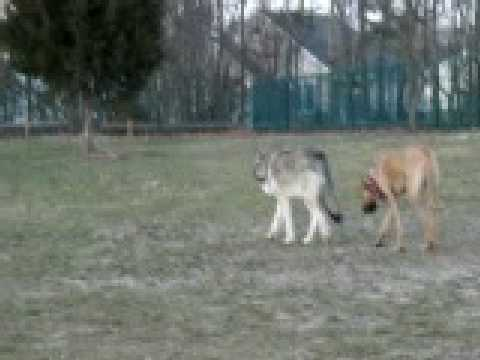 Wolf Amp Great Dane Dog Park Youtube