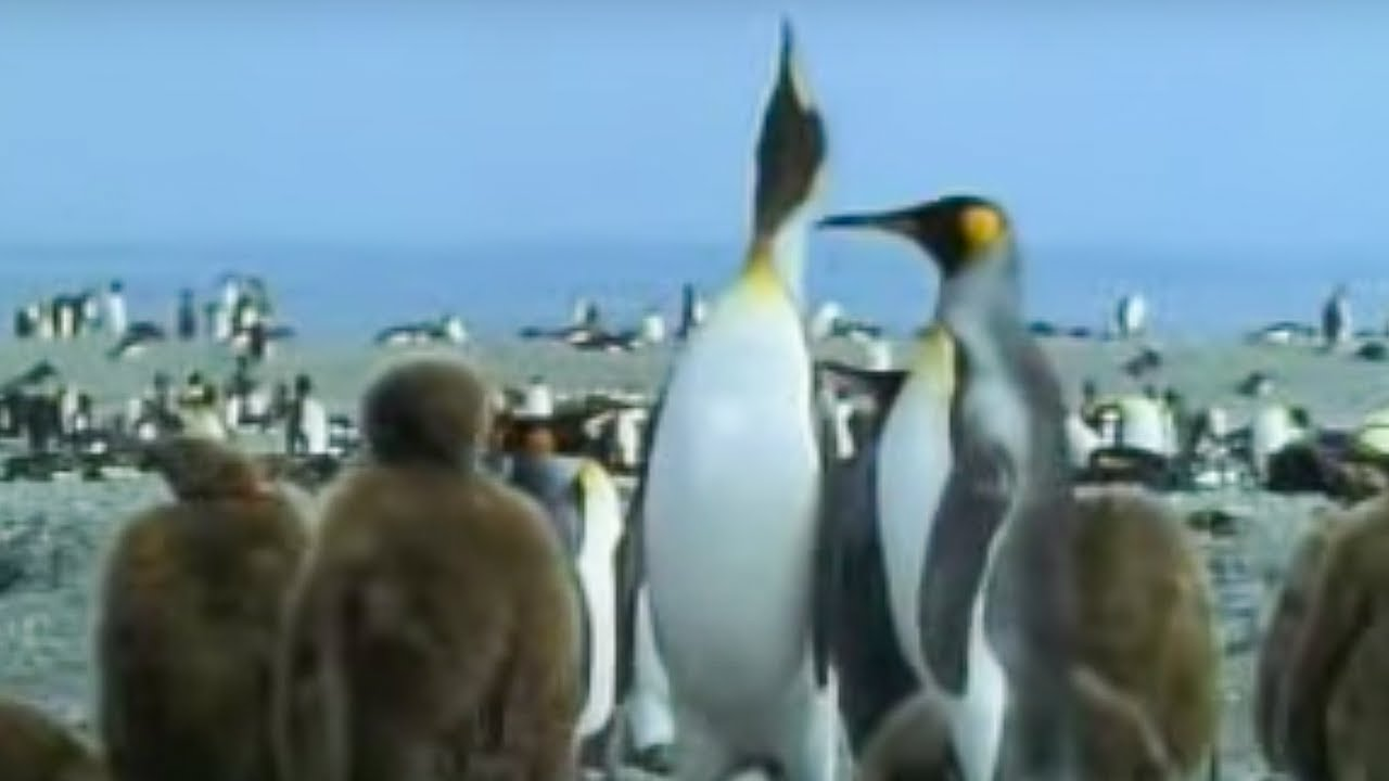 King penguins and their young - David Attenborough - BBC wildlife