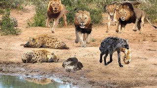 King Lion destroy Hyena cubs stupid go into his territory | Epic Battles Of Lion Vs Hyena
