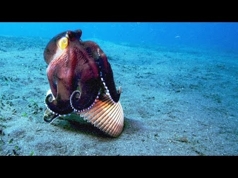 Octopus Uses Tools