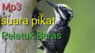 66  Gambar Burung Pelatuk Sampit HD