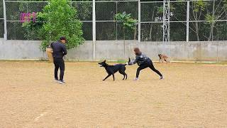 Người đẹp huấn luyện chó bảo vệ Kongo | Beauties train Kongo guard dog