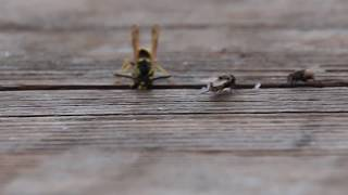 Wasp VS. Fly