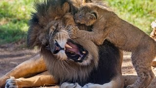 Lion Cubs Meet Dad for the First Time