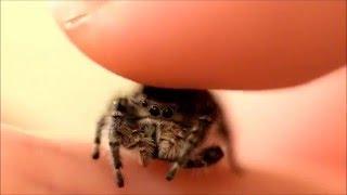 Petting my Phidippus Adumbratus Jumping Spider