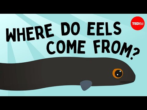 Eli the eel: A mysterious migration - James Prosek thumbnail