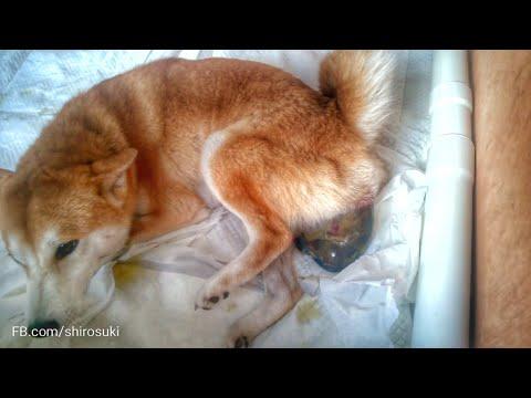 Birth of Shiba Inu puppy 1 of 3, 2nd litter / girl