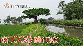 Nhìn Cây Trôi 1000 năm tuổi như thế nào? Hanoi Travel | Hà Nội Phố