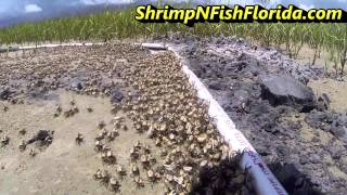 How To Catch Fiddler crabs, The Fiddler Crab Roundup Part 1 of 2
