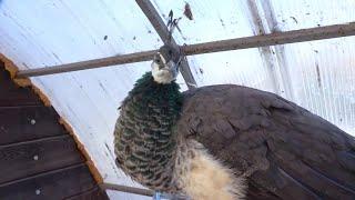 Лебединая песня. Пернатые обитатели южных широт под угрозой вымирания!
