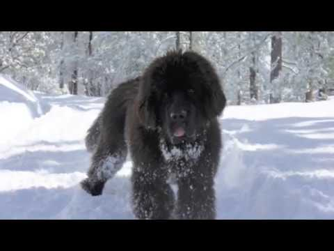 Newfoundland dog playing in the snow