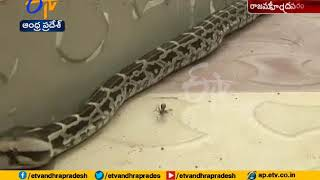 Python eggs artificially hatching into baby snakes in Raja..
