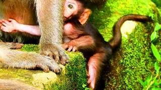 Tima hat Dolly so much cos she drag new baby, Old very tired cos every monkeys here, Cute baby #2738