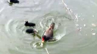 Păsări mici, rare, pe lac, în Valea Morilor