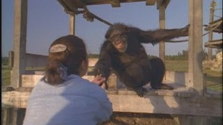 Emotional Reunion with Chimpanzees