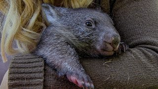Orphan Wombat's journey back to the wild | BBC Earth
