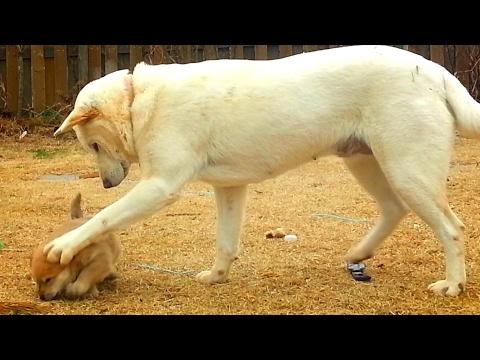 [50] 강아지 젖 떼려는 매정한 엄마개와 미어캣 처럼 망루에 선 아빠 진돗개 금동이/ Cold-hearted mother dog & father dog like a meerkat