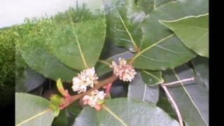 Cây long não _ Cinnamomum camphora
