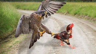 Eagle Vs Rooster _ Who Will Be The Winner?