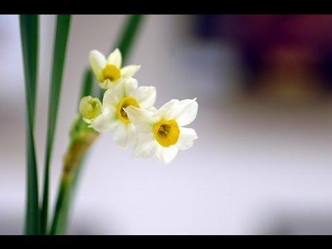 心靈音樂創作~水仙花