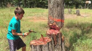 Felling a large tree with the Gransfors Scandinavian Forest Axe
