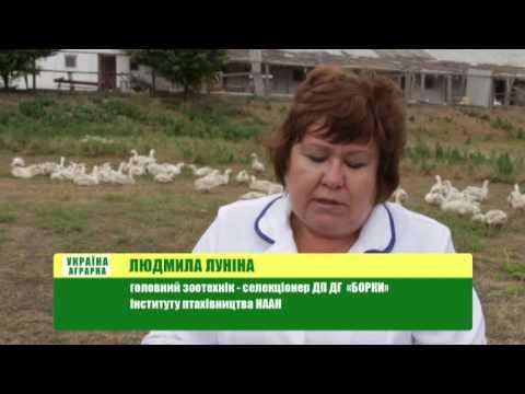 Агро-Ритм: История успеха промышленного выращивания гусей и уток