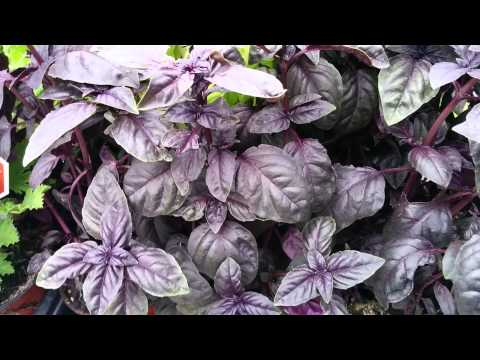 "Ocimum basilicum var. purpurascens ""Albahaca"""
