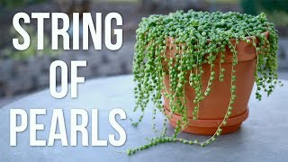String of Pearls Care Guide // Garden Answer