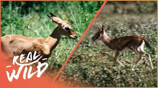 Fawn identity [Impala and Gazelle Documentary] | Wild Things