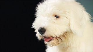 Toxic dog treats: What's killing so many dogs? (CBC Marketplace)