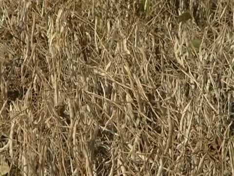Урожай фасоли на полях Сварог Вест Груп