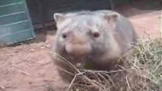 Cranky common wombat