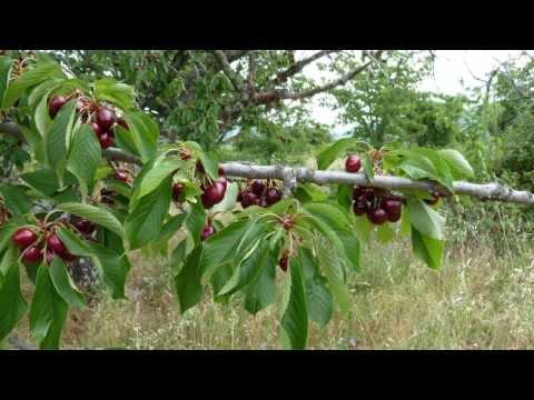 comment soigner naturellement ses fruitiers le traitement d 39 hiver sur pommier cerisier. Black Bedroom Furniture Sets. Home Design Ideas